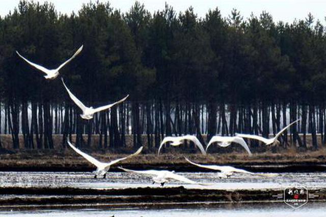 """数百只白天鹅""""做客""""建三江水稻田,快来看人鸟和谐共处的美"""