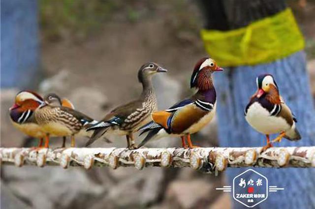 """第一只(zhi)huai)魃匣分鏡(jing)墓 yuan)鴦連(lian)續六年""""回家""""育子"""