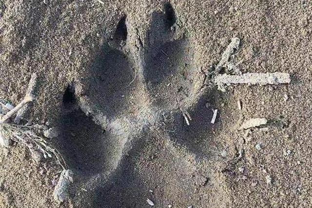 狼来了?!齐齐哈尔出现疑似野狼踪迹,3只羊和1只狗被袭
