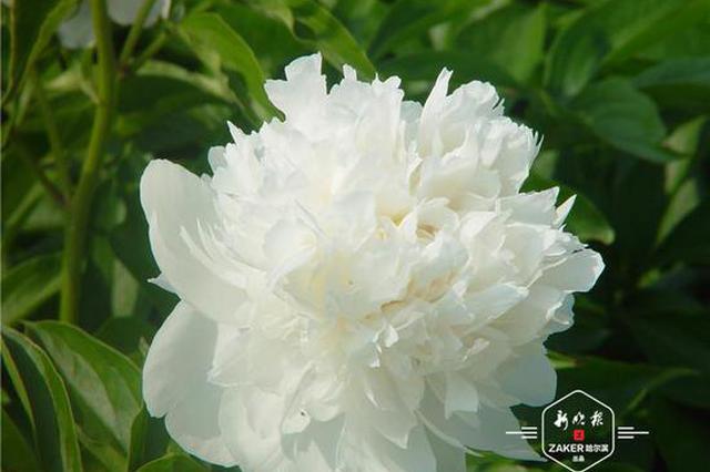 好(hao)似牡丹傾國(guo)色,花開時(shi)節悅冰(bing)城!35種芍藥盛放植物(wu)園等你來