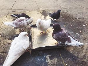 鸽子们排队洗澡。