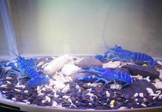 """哈尔滨出产""""蓝色小龙虾"""""""