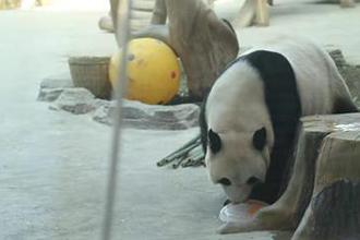 亚布力熊猫姐弟吃冰糕吹空调