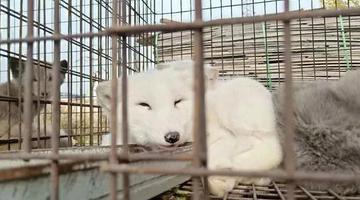 几十只被放生的狐狸饿死在大顶子山