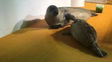 极地馆小海豹胖了40斤