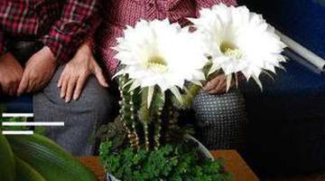 罕见!仙人球两年开了两次花