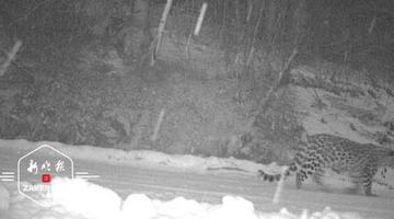 穆棱林区首次拍到东北豹活动影像