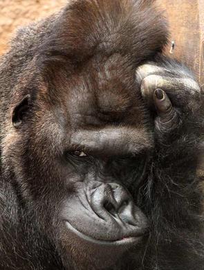捷克大猩猩对镜头眨眼模特范儿十足