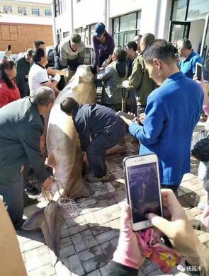 龙江3名渔民合力捕获996斤大鳇鱼