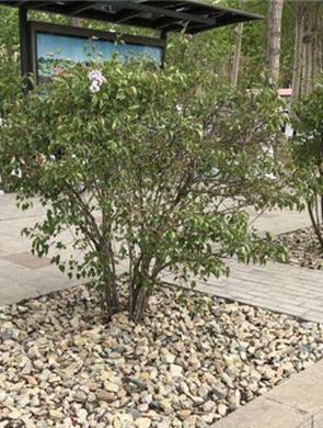 哈市主城区50条街路树池铺砂卵石