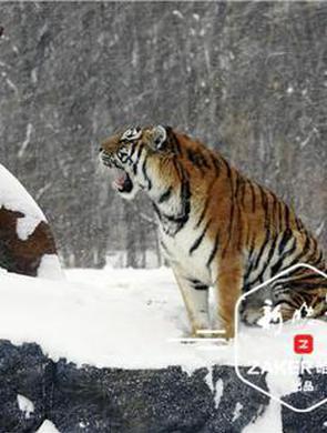 雪中的东北虎气场十足
