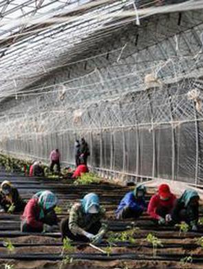 雙城頭茬應季蔬菜無公害種植