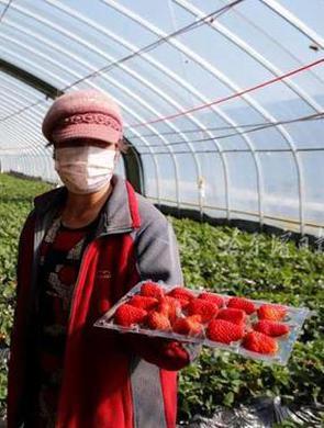 哈爾濱雙城首批草莓上市了