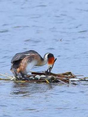 外滩湿地凤头鸊鷉巢保住了