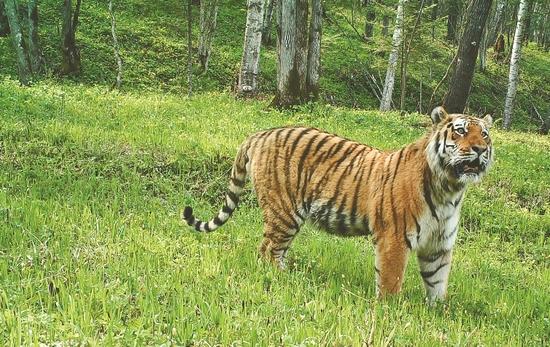 生活在东北虎豹国家公园里的东北虎。图片由省生态环境厅提供