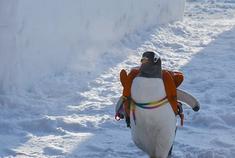 """萌翻了!太阳岛来了""""逃学企鹅"""""""