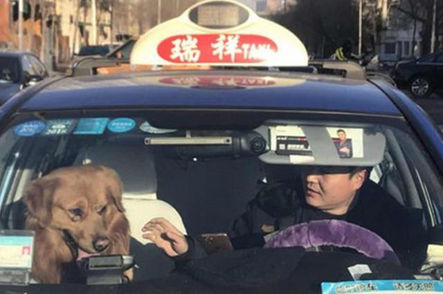 4小时历险 跟着出租车找主人的金毛犬回家了