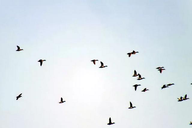 百只绿麻鸭松花江越冬 原来它们是为了这事