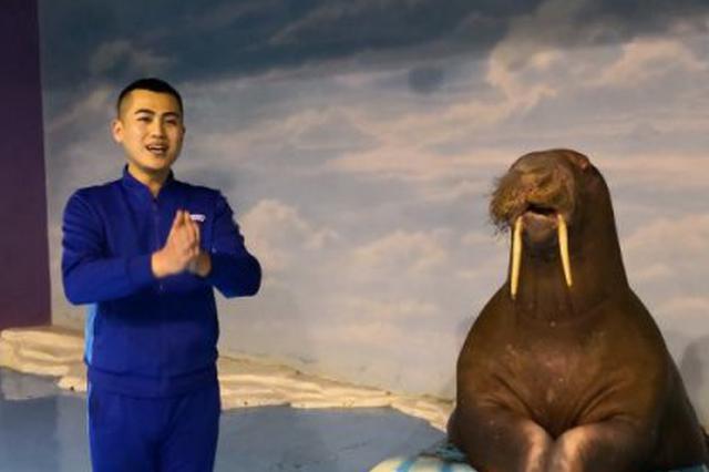 哈尔滨极地馆海象驯养师 带伊娃给大家拜年