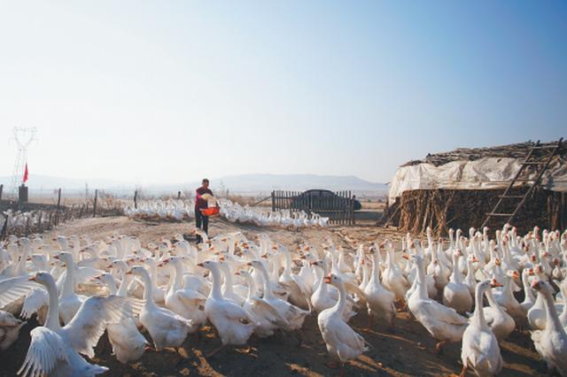 残疾村民养大鹅年赚10万元 养鹅达人致富路上向天歌