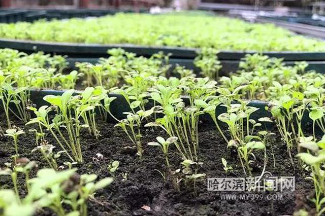 黑龙江省森林植物园开始早春育苗五一将陆续种植园中