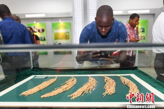 非洲记者拍摄杂交水稻。 杨华峰 摄