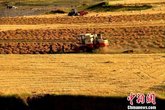 资料图:白露节气临近,甘肃河西走廊祁连山下的张掖民乐县田野里的大麦、小麦都已经成熟,田野风光如画。 陈礼 摄