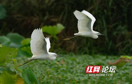 白鹭双双舞翩跹。(拍摄:@稀里马哈)