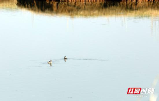 两只候鸟在水面觅食。摄影 秦楼