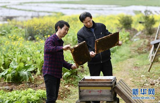 在浏阳市龙伏镇黄桥村,袁风格(左)和村民戴才非一起检查蜜蜂的繁殖情况(3月5日摄)。新华社记者 李尕 摄