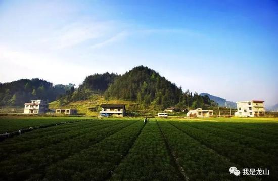 龙山百合种植基地。
