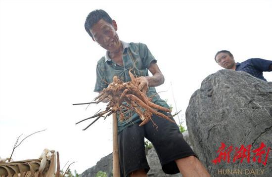 8月25日,邵东市斫曹乡梧桐村,贫困户村民蒋贵卿在挖芍药。 湖南日报·新湖南客户端记者 李健 摄