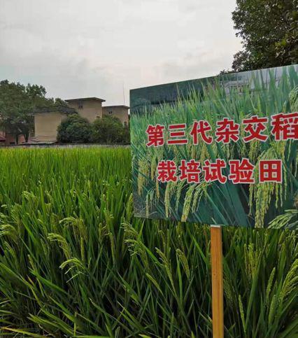 杂交水稻国家重点实验室研究员李新奇提供