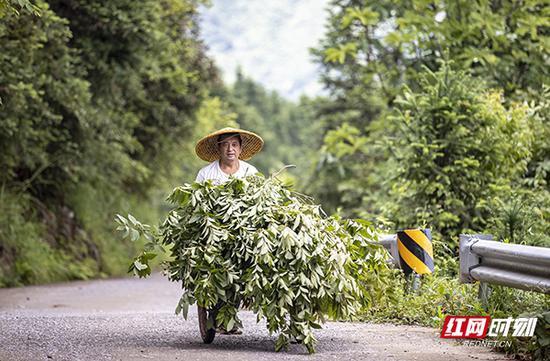 没有多长时间,蒋爱文就采摘了满满一小车挂满果的山胡椒树枝。