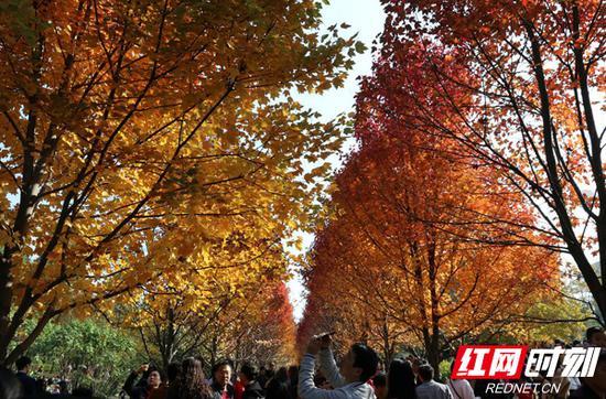 11月24日,湖南农大的红枫大道的枫叶红成了一道美丽风景,吸引了大量的游客到校园里观赏。乔千禧 摄