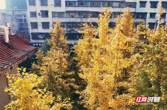 今日邵阳,天气晴好,银杏叶黄。李金娟 摄