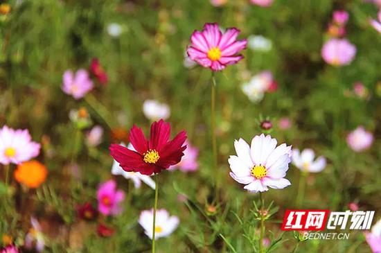 格桑花,一直是作为西藏的存在,如今,格桑花在茶园中盛开美不胜收!