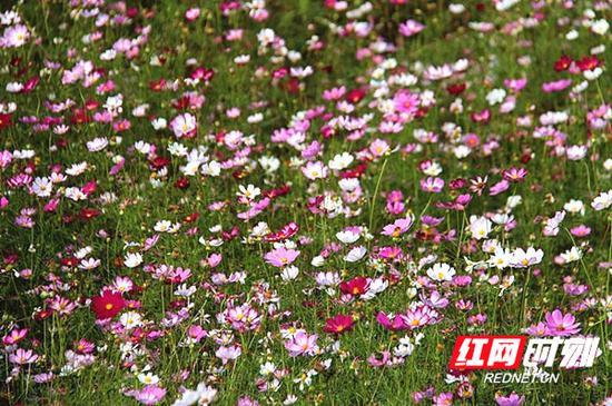格桑花是美好的象征,它象征着幸福,引领人们走向光明!
