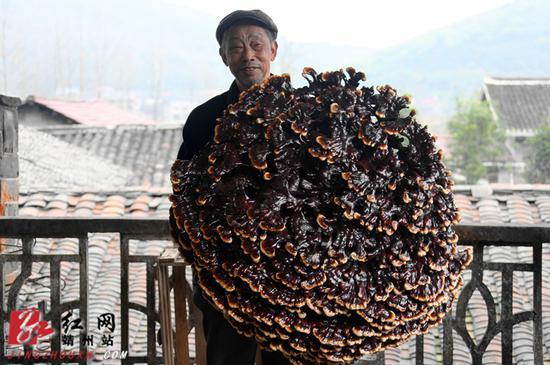 李昌发老人展示他培育的巨型灵芝。刘杰华 摄