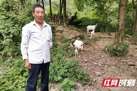 如今张兴平一个人养了近70只羊。