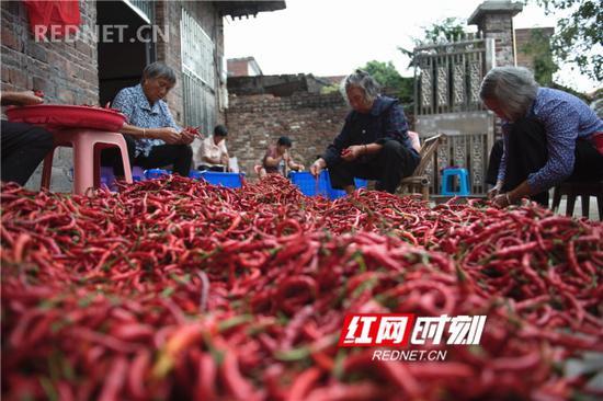蓝山新圩辣椒喜丰收。