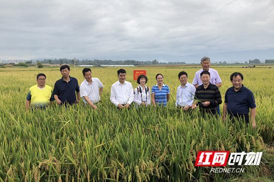 湖南省农业科学院专家在水稻实验田内。