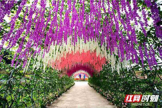 湖南怀化鹤城区,新开业的山下花海景区紫藤锦簇。陈敏捷 摄