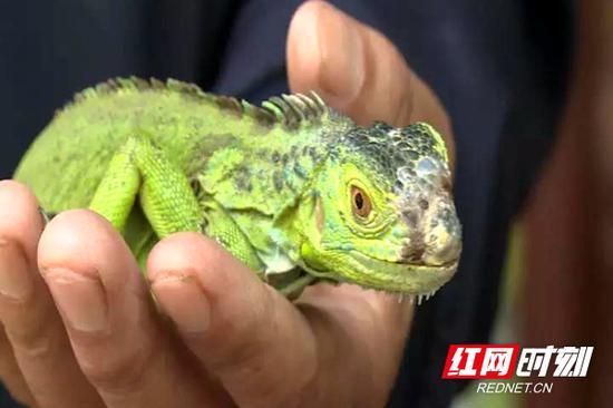 之前,有市民捡到绿鬣蜥。