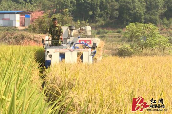 收割机在收割稻谷。