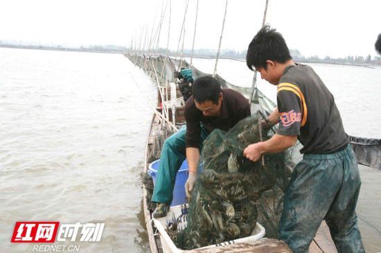 大通湖的大闸蟹。