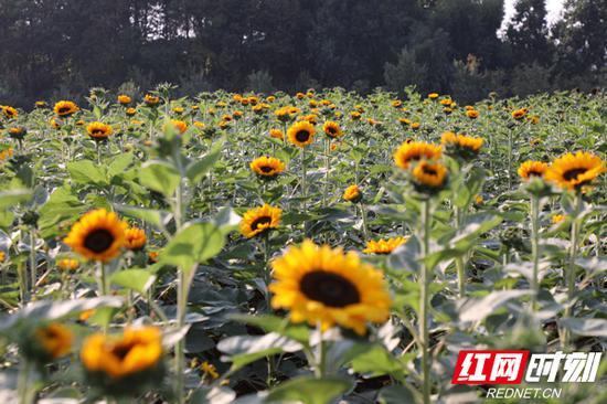 湖南省森林植物园内盛开的向日葵