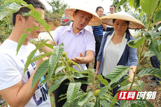 今年8月,天心区委副书记、区长黄滔(中)调研龙山县洛塔乡梭洛村锥栗产业示范园。