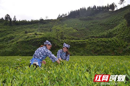 安化县田庄乡的茶农正在采茶。