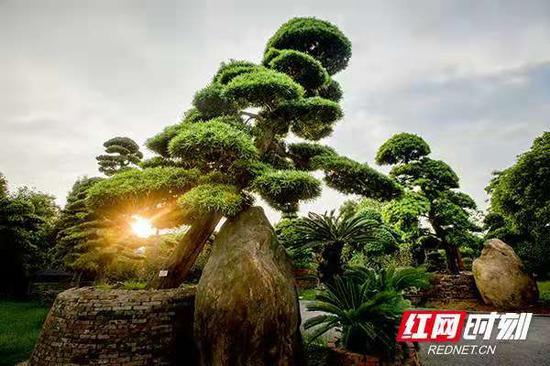 柏加镇的精品苗木。